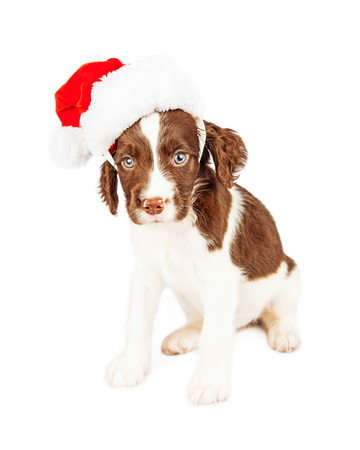 springer spaniel: Cute seven week old English Springer Spaniel puppy dog wearing a Christmas Santa Claus hat