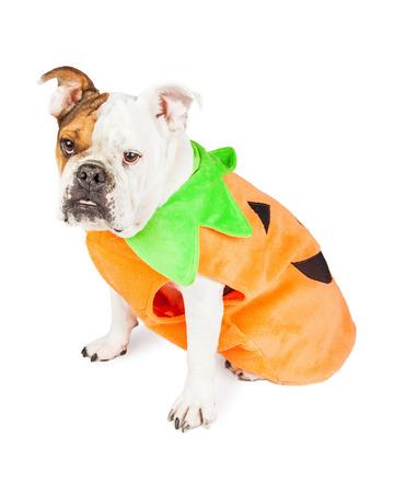 carnivora: Full length of Bulldog dressed as Halloween pumpkin over white background