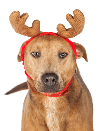 renna: Grande cane di razza mista pastore indossando corna di renna di Natale