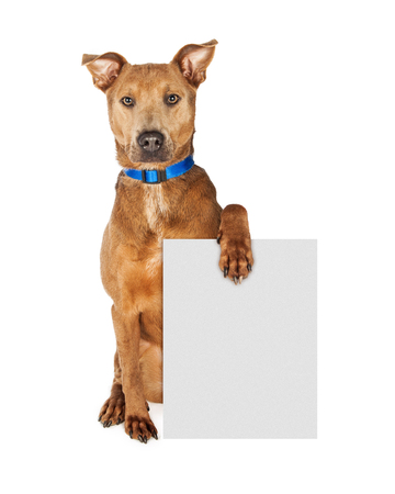 blue collar: Large mixed breed dog wearing a blue collar sitting and looking forward while holding a blank sign to enter your message onto Stock Photo