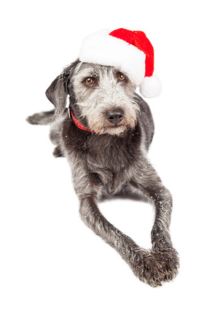 st nick: Full length image of Grey color terrier mixed breed dog wearing red collar and Christmas Santa Claus hat