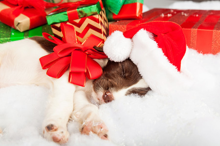 spaniel: English Springer Spaniel puppy wearing Santa hat while sleeping by gifts under Christmas tree Stock Photo