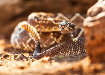 serpiente de cascabel: Primer de la serpiente de cascabel en la planta Foto de archivo