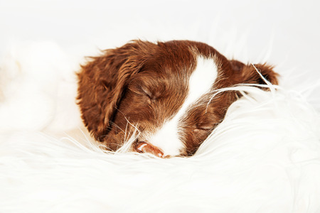 cute puppy: Closeup of cute English Springer Spaniel puppy sleeping on fur over white background