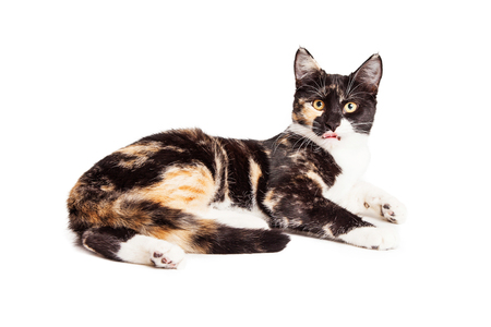 calico cat: Adorable little Calico breed kitty laying to the side and sticking her tongue out