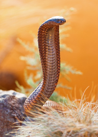 slithery: Closeup of venomous cobra on rock
