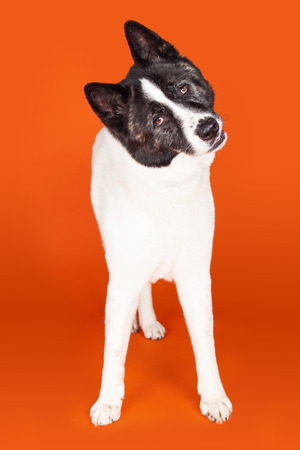 cocked: Full length portrait of black mask Akita with head cocked standing over orange background