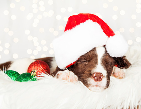 springer: Closeup of tired English Springer Spaniel puppy wearing Santa hat while napping on fur at home Stock Photo