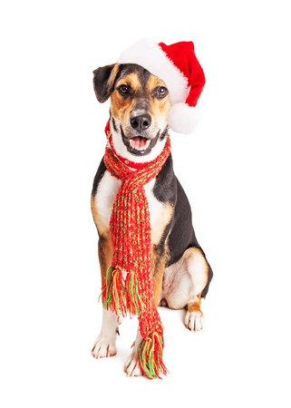 Popular Wisconsin Beagle Adorable Dog - 48430257-cute-mixed-beagle-and-shepherd-mixed-breed-dog-wearing-christmas-santa-claus-hat-and-winter-scarf-wi  Trends_668247  .jpg?ver\u003d6