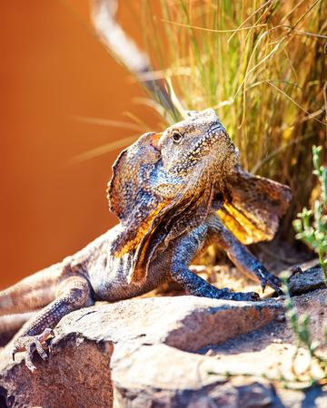 lagartija: Primer plano de lagarto con volantes de alerta (Chlamydosaurus kingii) sobre la roca