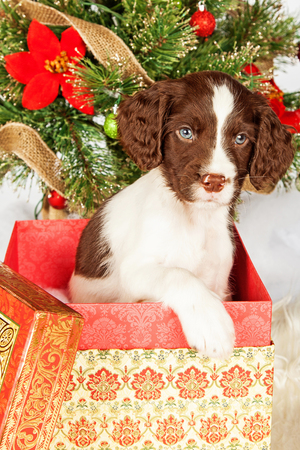 springer: Portrait of cute English Springer Spaniel puppy in gift box by Christmas tree over white background