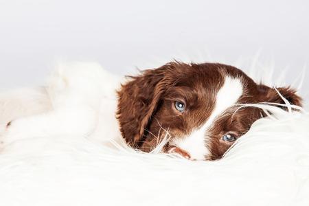 springer: Portrait of sleepy English Springer Spaniel puppy lying on fur