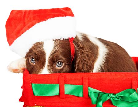 perro asustado: Retrato de Inglés Springer Spaniel cachorro llevaba sombrero de Santa mientras que se sienta en la cesta de regalo sobre fondo blanco