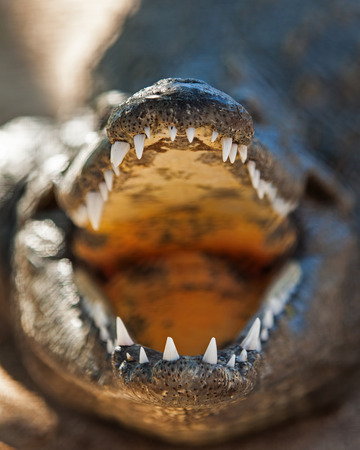 niloticus: Closeup of aggressive Nile crocodile (Crocodylus niloticus) with mouth open