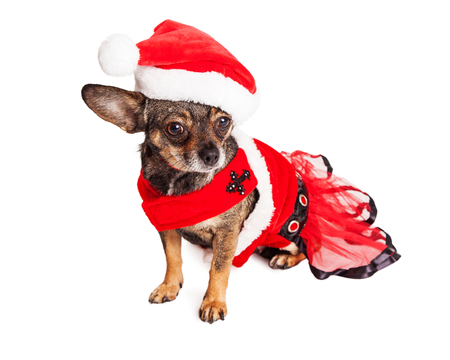 st  nick: Cute little Chihuahua crossbreed dog wearing a red Christmas Santa Claus outfit