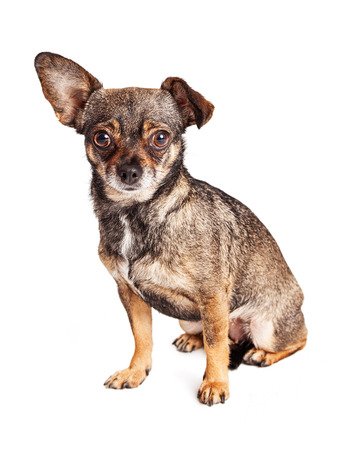 little one: Cute little Chihuahua small mixed breed dog with one floppy ear