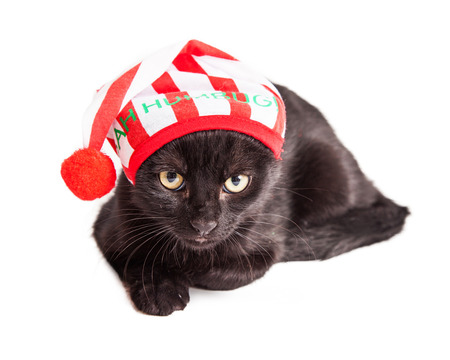Cute little black kitten with an angry expression wearing a Christmas pajama hat that says Bah Humbug