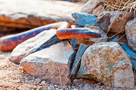 slithery: Closeup of dangerous Colletts cobra (Pseudechis colletti) on rocks Stock Photo