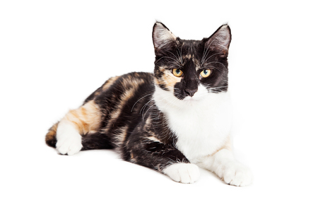 calico cat: Cute young calico breed cat laying over white looking forward