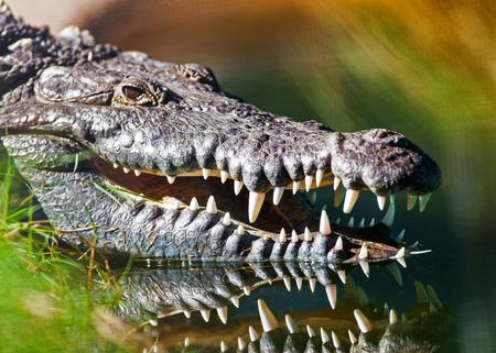 crocodylus: Closeup of dangerous American crocodile (Crocodylus acutus) with mouth open in water