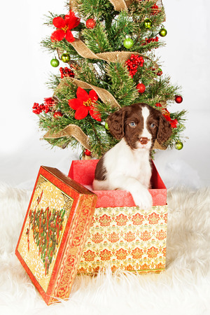 Portrait of English Springer Spaniel puppy in gift box by Christmas tree over white background
