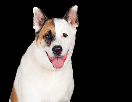 panting: Portrait of dog panting against black background