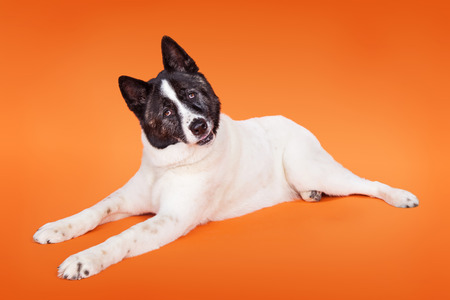 head tilted: Portrait of black mask Akita with head tilted lying over orange background Stock Photo
