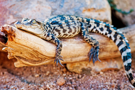 siamensis: Closeup of baby Siamese crocodile (Crocodylus siamensis) on log outdoors