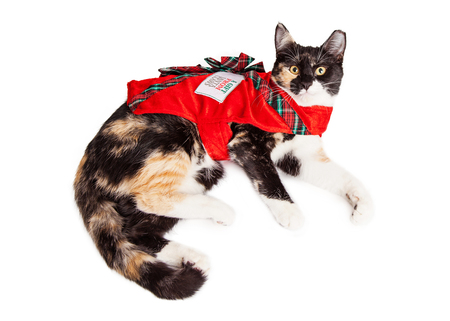 calico cat: Cute Calico breed cat laying down wearing a costume as a Christmas gift