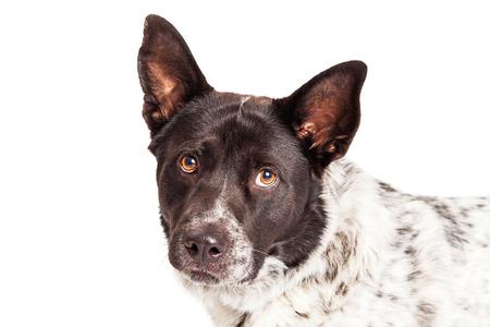 looking into camera: Closeup photo of a beautiful Australian Shepherd mixed breed dog looking into camera