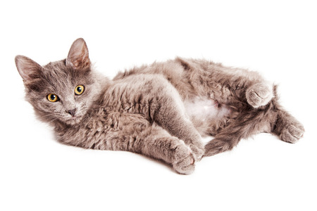 laying forward: Cute little grey color kitten laying on side lifting head and looking forward Stock Photo