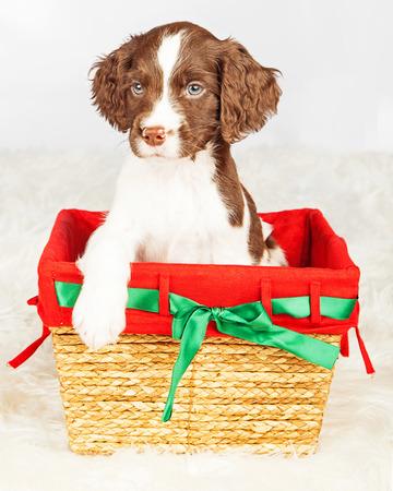 springer: Portrait of English Springer Spaniel puppy sitting in gift basket over white background