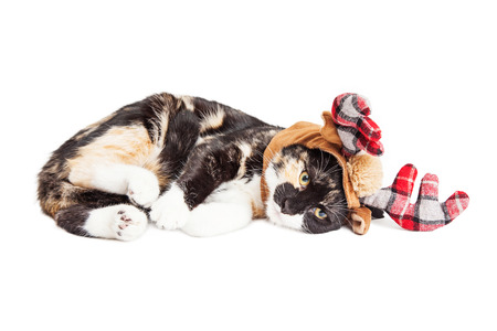 calico cat: Cute little kitten laying down over white wearing plaid pattern Christmas reindeer antlers Stock Photo