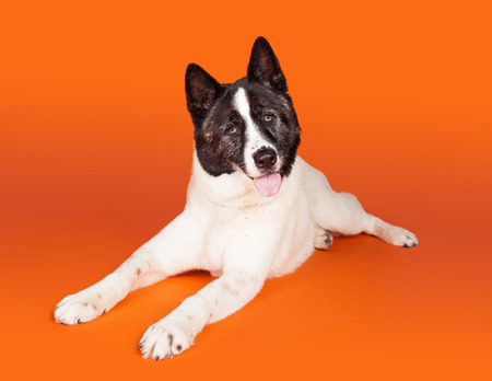 panting: Portrait of black mask Akita lying while panting over orange background Stock Photo