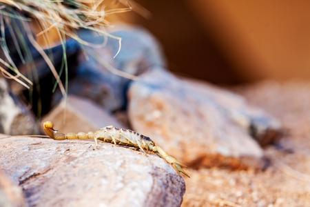 hairy closeup: Closeup of desert hairy scorpion (Hadrurus arizonensis) on rock