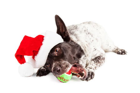 st nick: Funny photo of a large dog wearing a Christmas Santa Claus hat laying down chewing a tennis ball toy that says Woof Stock Photo