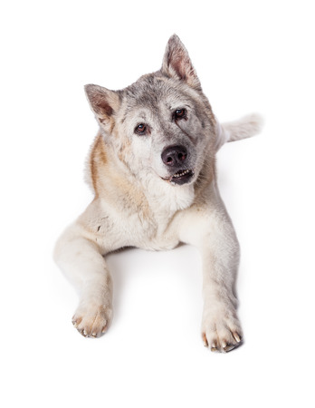 akita: Portrait of bored Akita dog lying on white background Stock Photo