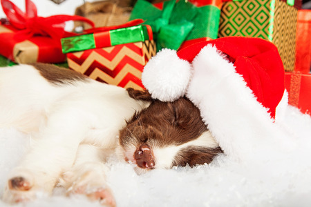 springer: English Springer Spaniel puppy wearing Santa hat while sleeping on fur by gifts Stock Photo