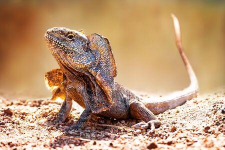 lagartija: Primer plano de alerta lagarto del cuello con volantes (Chlamydosaurus kingii) en tierra