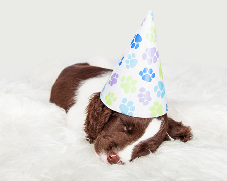 party hat: Cute English Springer Spaniel puppy wearing a birthday party hat napping on a fur rug