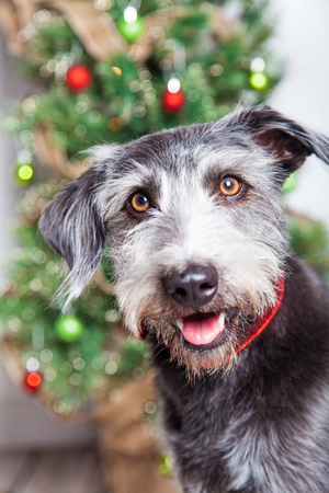 xmas tree: Closeup photo of a happy and smiling mixed breed terrier dog in front of a decorated Christmas tree Stock Photo