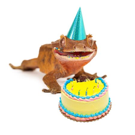 crested gecko: A funny crested gecko wearing a birthday party hat with a messy face from eating cake