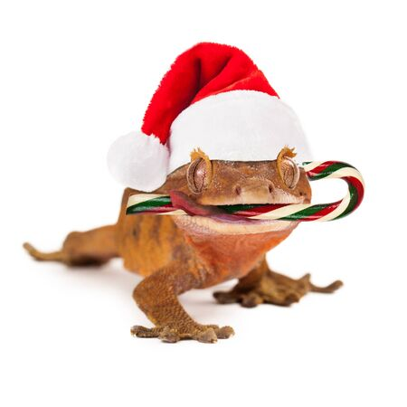 crested gecko: A funny crested gecko wearing a Christmas Santa Claus hat with a candy cane in his mouth Stock Photo