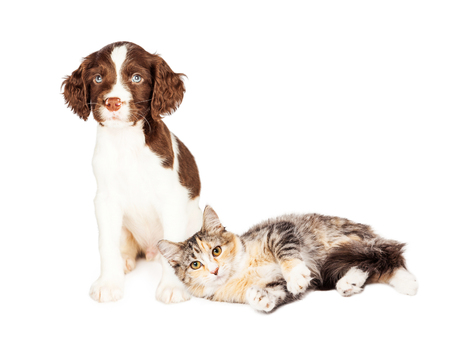 springer spaniel: Cute kitten laying next to a young Springer Spaniel puppy