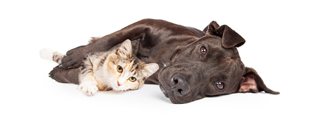 Friendly Pit Bull mixed breed dog laying and snuggling with a little kitten