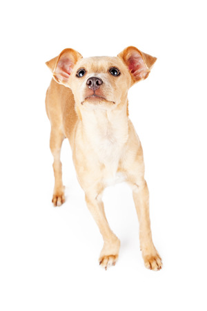 lapdog: Cute little Chihuahua mixed breed dog lifting nose up in the air to smell a scent.