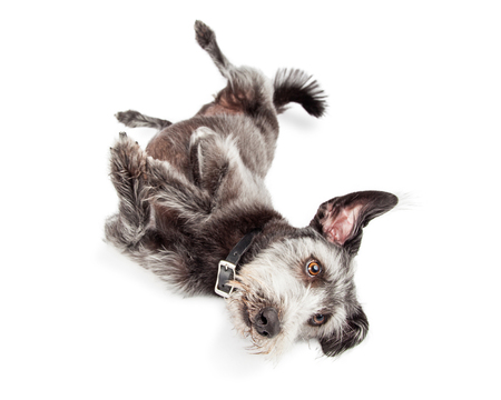 Cute terrier mixed breed dog laying down and doing a rollover trick