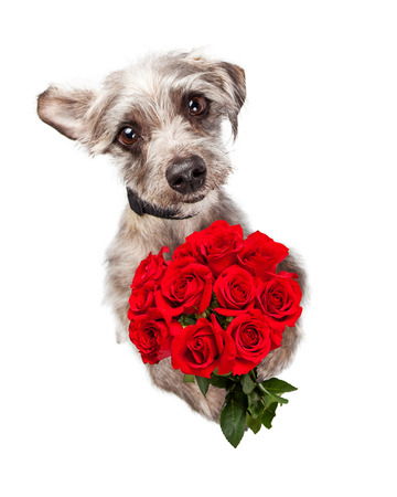 Overhead view of an adorable little dog standing and holding a bouquet of red roses while looking up with sad eyes. Can express love or an apology. Stock Photo