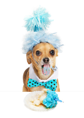 party hat: Funny photo of a Chihuahua dog wearing a party hat sticking his tongue out with blue stains from frosting of a half eaten cupcake