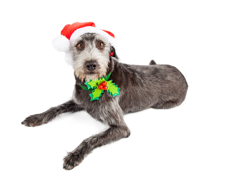 st nick: Cute and funny looking terrier mixed breed dog wearing a Christmas Santa Claus hat and collar with holly on it Stock Photo